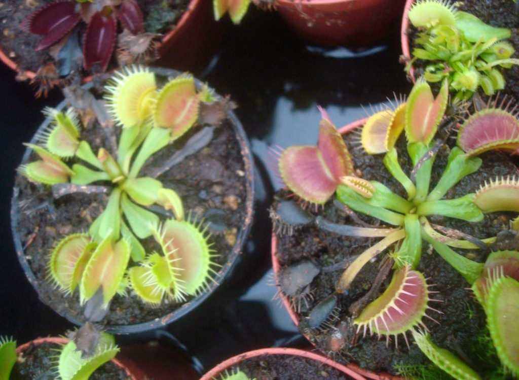 Suivi semis et germination Dionaea [Ted82] - Page 12 Dsc03260