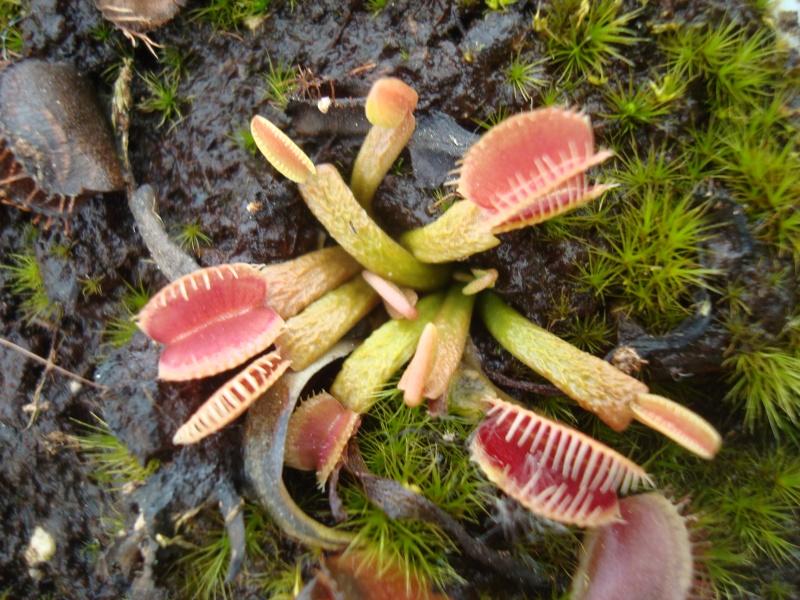 Suivi semis et germination Dionaea [Ted82] - Page 11 Dsc03319