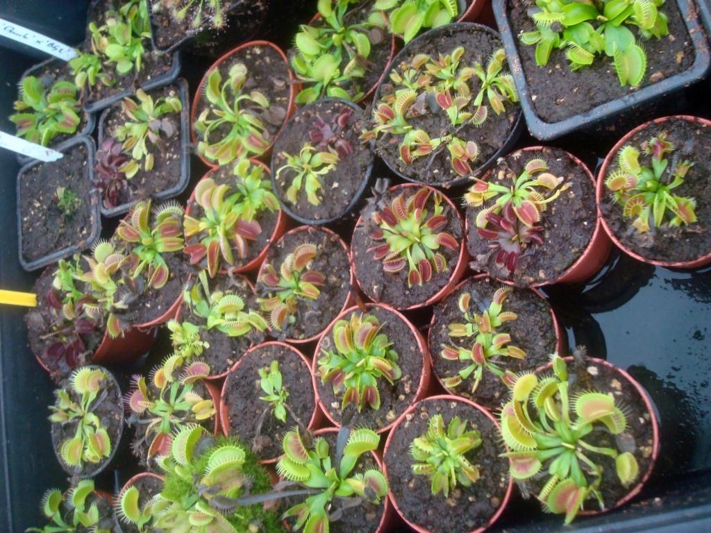 Suivi semis et germination Dionaea [Ted82] - Page 12 Dsc03341