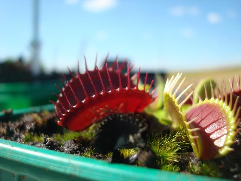 Suivi semis et germination Dionaea [Ted82] - Page 11 Dsc04228