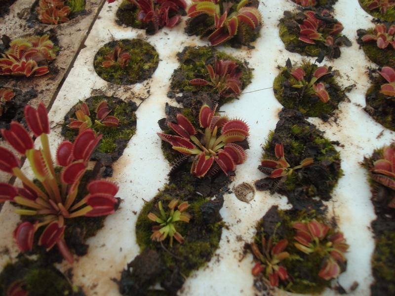 Suivi semis et germination Dionaea [Ted82] - Page 11 Dsc04311