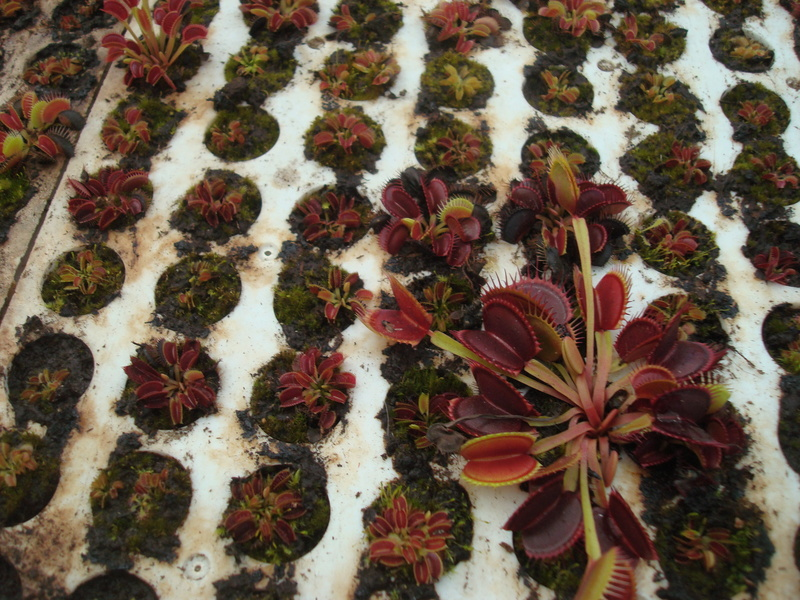 Suivi semis et germination Dionaea [Ted82] - Page 11 Dsc04312