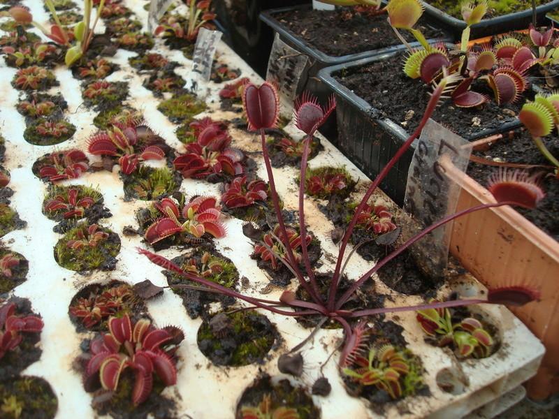 Suivi semis et germination Dionaea [Ted82] - Page 11 Dsc04313