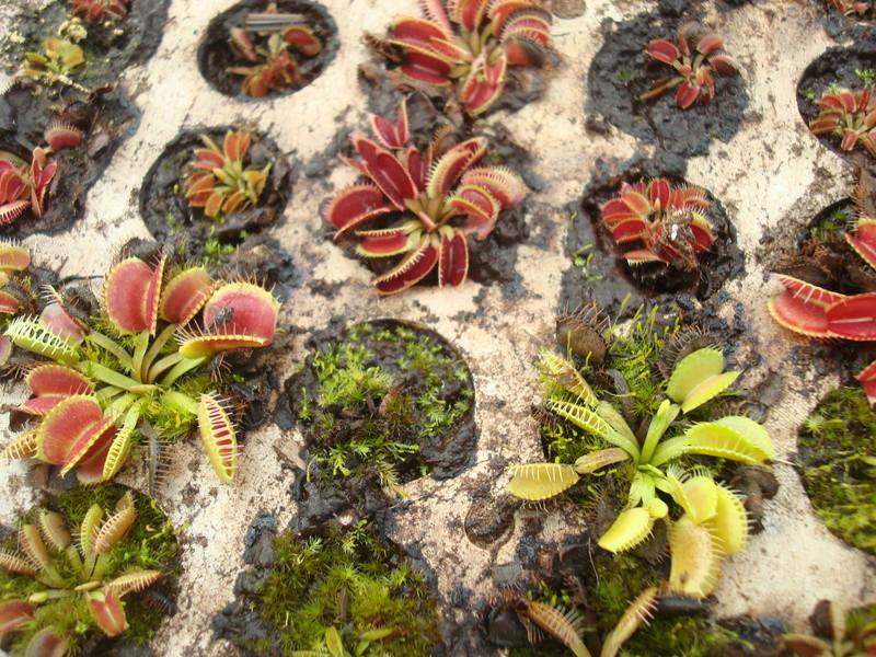 Suivi semis et germination Dionaea [Ted82] - Page 11 Dsc04314