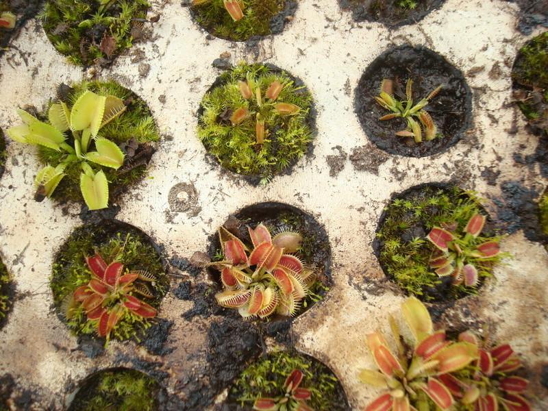 Suivi semis et germination Dionaea [Ted82] - Page 11 Dsc04315