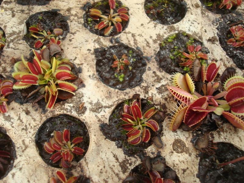 Suivi semis et germination Dionaea [Ted82] - Page 11 Dsc04316
