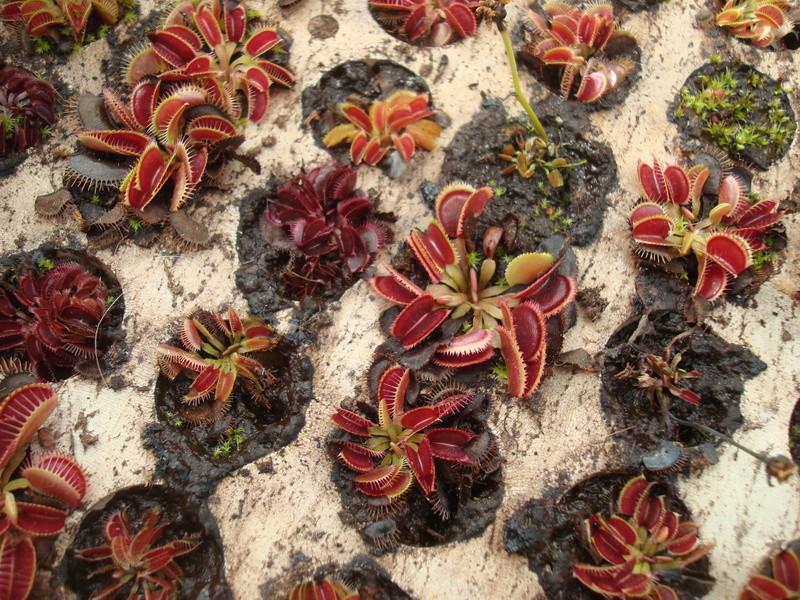 Suivi semis et germination Dionaea [Ted82] - Page 11 Dsc04317