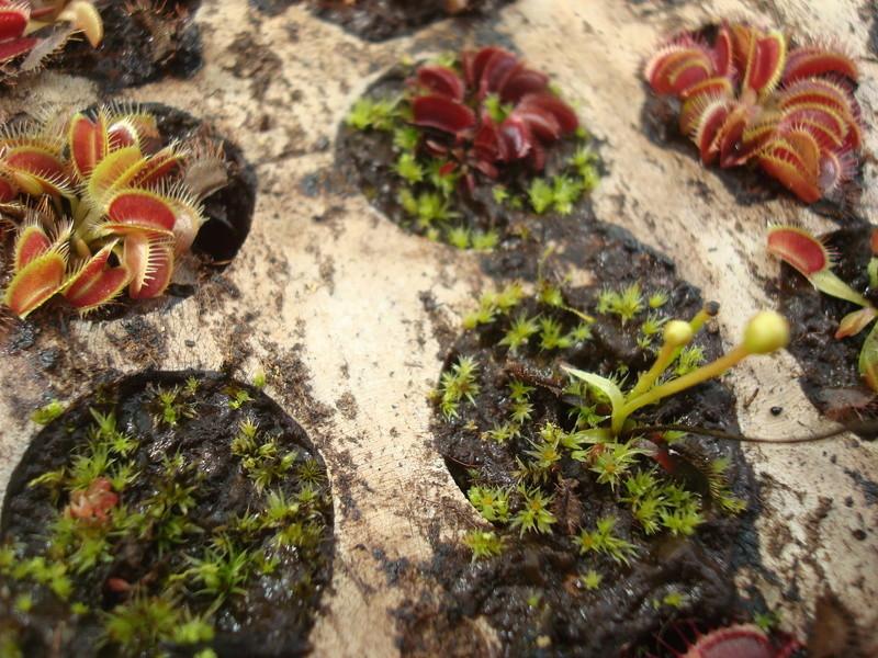 Suivi semis et germination Dionaea [Ted82] - Page 11 Dsc04318