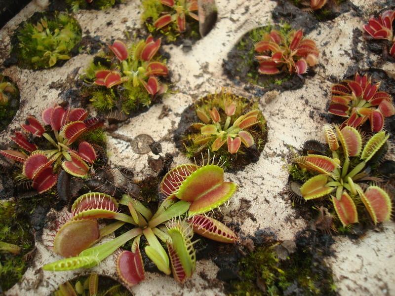 Suivi semis et germination Dionaea [Ted82] - Page 11 Dsc04319