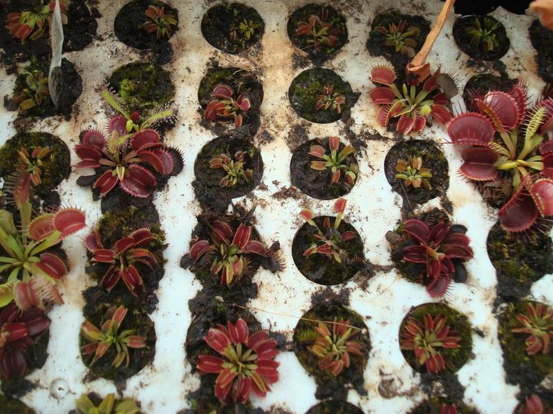Suivi semis et germination Dionaea [Ted82] - Page 11 Dsc04320