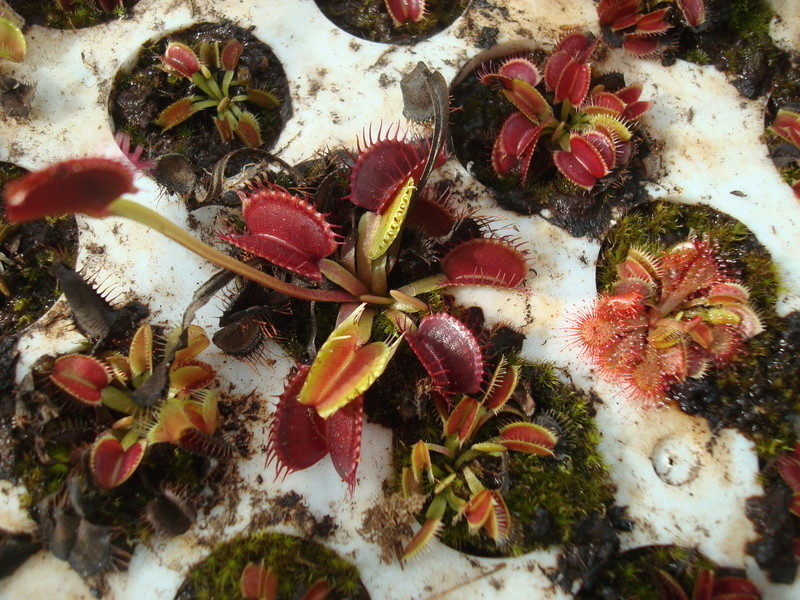 Suivi semis et germination Dionaea [Ted82] - Page 11 Dsc04321