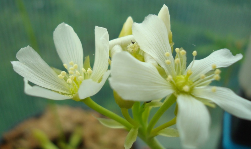 Suivi semis et germination Dionaea [Ted82] Dsc05210