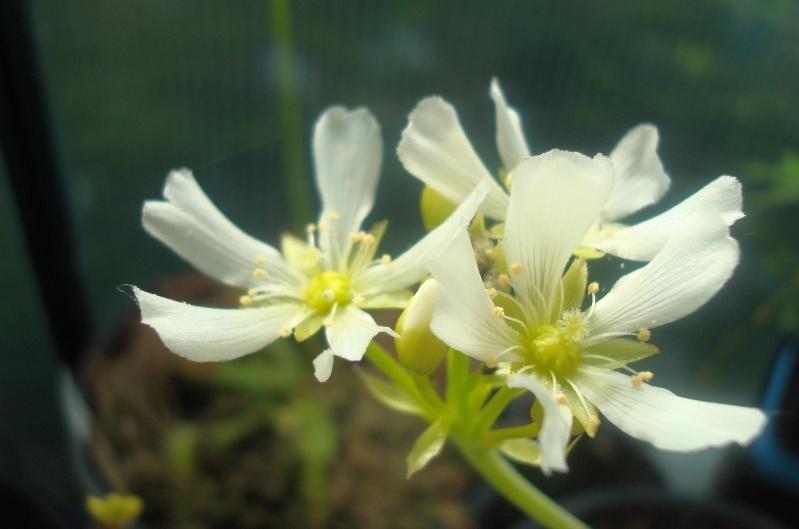 Suivi semis et germination Dionaea [Ted82] Dsc05310