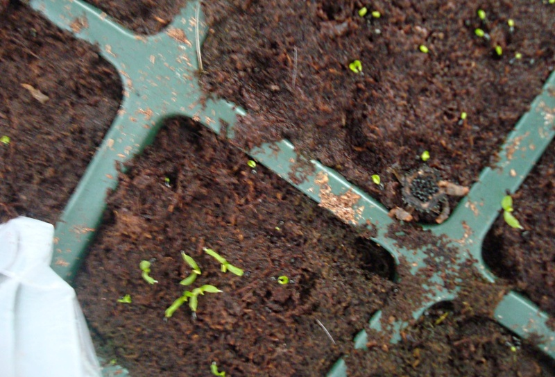 Suivi semis et germination Dionaea [Ted82] Dsc06110