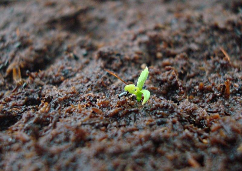 Suivi semis et germination Dionaea [Ted82] Dsc06111