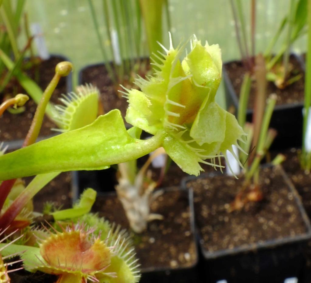 Suivi semis et germination Dionaea [Ted82] - Page 12 Dscf8410