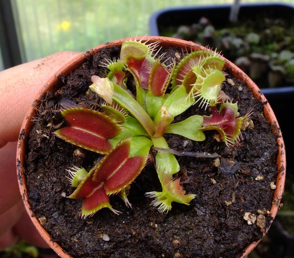 Suivi semis et germination Dionaea [Ted82] - Page 12 Dscf8414