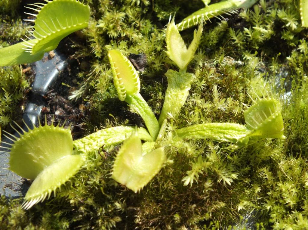 Suivi semis et germination Dionaea [Ted82] - Page 12 Dscf8418