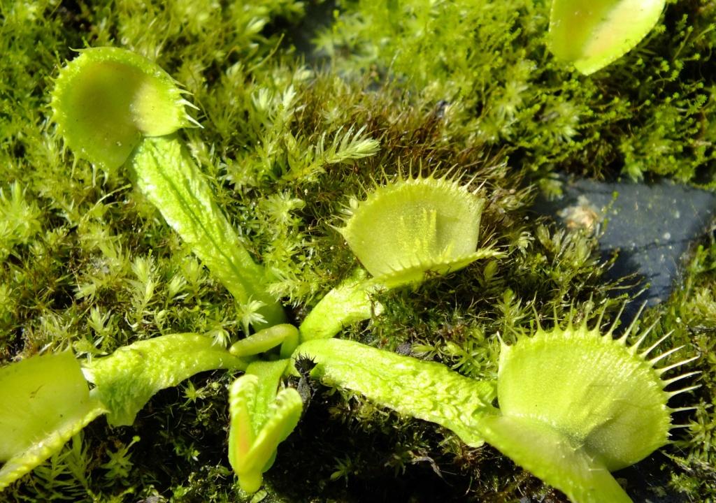 Suivi semis et germination Dionaea [Ted82] - Page 12 Dscf8419