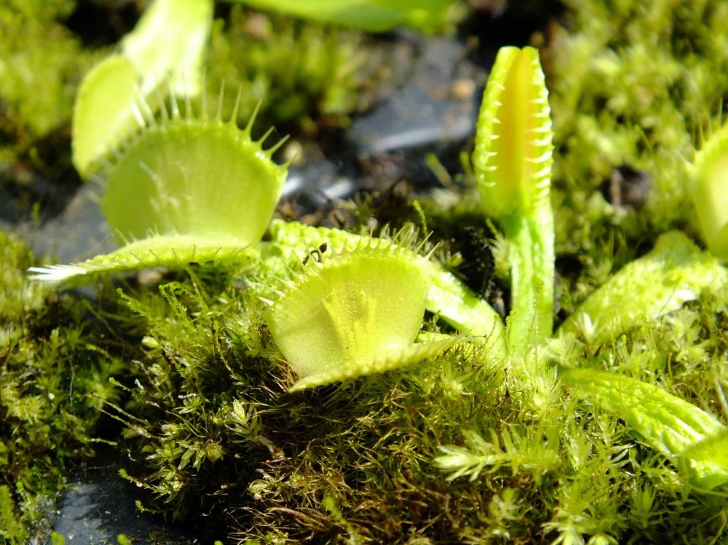 Suivi semis et germination Dionaea [Ted82] - Page 12 Dscf8420