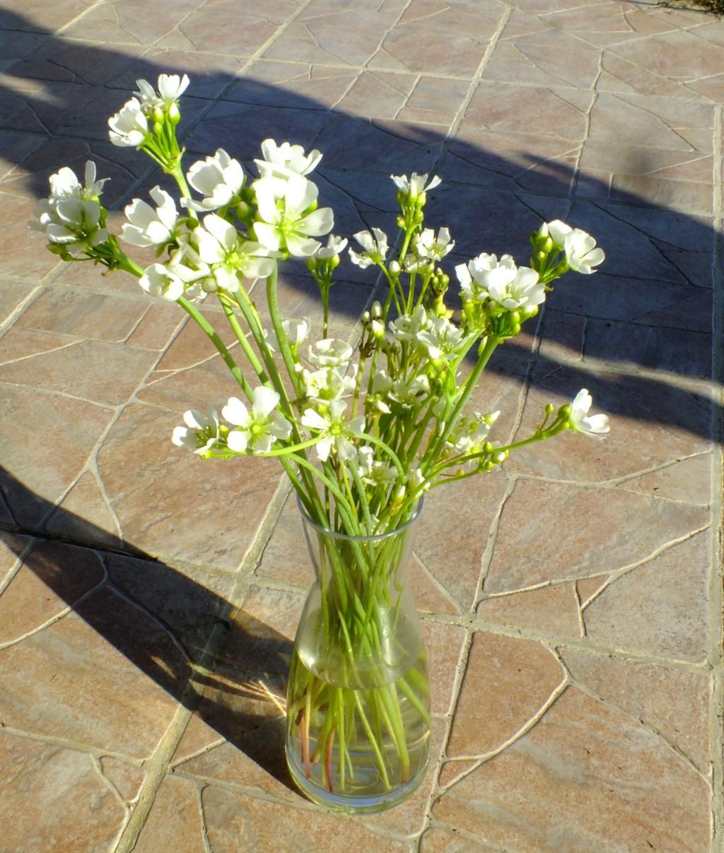 Fleurs de Dionées Dscf9110