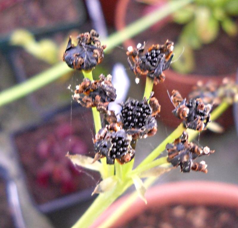 Suivi semis et germination Dionaea [Ted82] Dscn0626