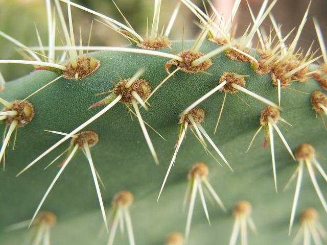 Opuntia leucotricha  [identification] Op_leu10