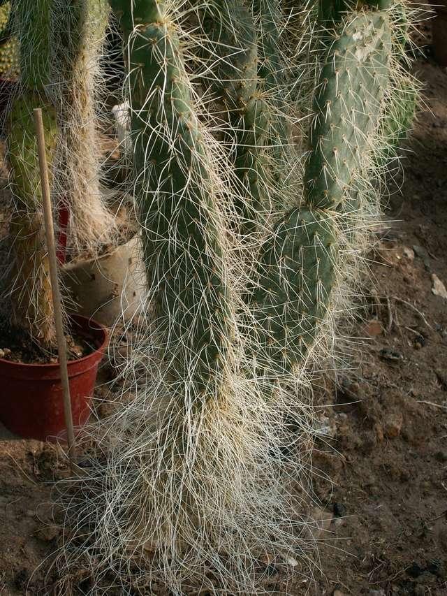Opuntia leucotricha  [identification] Op_leu14