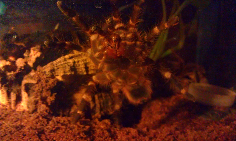 acanthoscurria brocklehursti Imag0810
