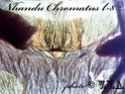 Nhandu Chromatus Ddddnd11