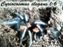 Cyriocosmus elegans Ddddnd12