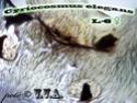 Cyriocosmus elegans  Ddddnd13
