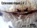 Cyriocosmus elegans  Ddddnd14