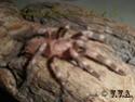 Nhandu Chromatus Sam_0910