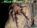 Nhandu Chromatus Sam_0911