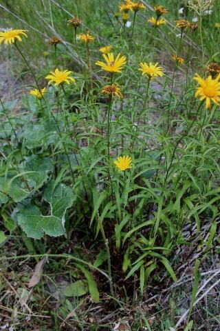 Buphthalmum salicifolium - buphtalme, oeil de beuf Astera13