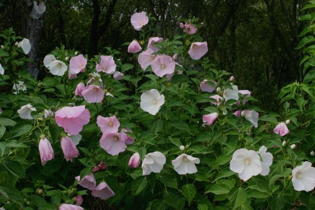 (40) Promenade fleurie du Lac de Mimizan-Aureilhan Hibisc12