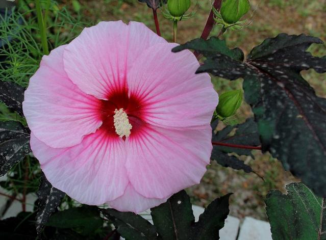 Hibiscus moscheutos - Page 2 Summer10