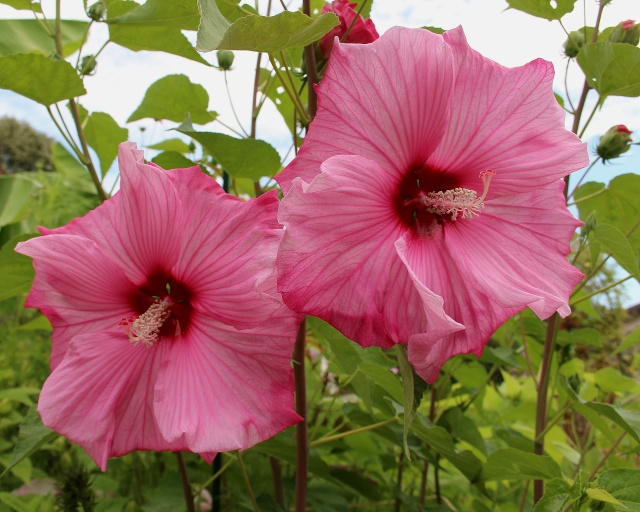 Hibiscus moscheutos - Page 2 Sweet_11