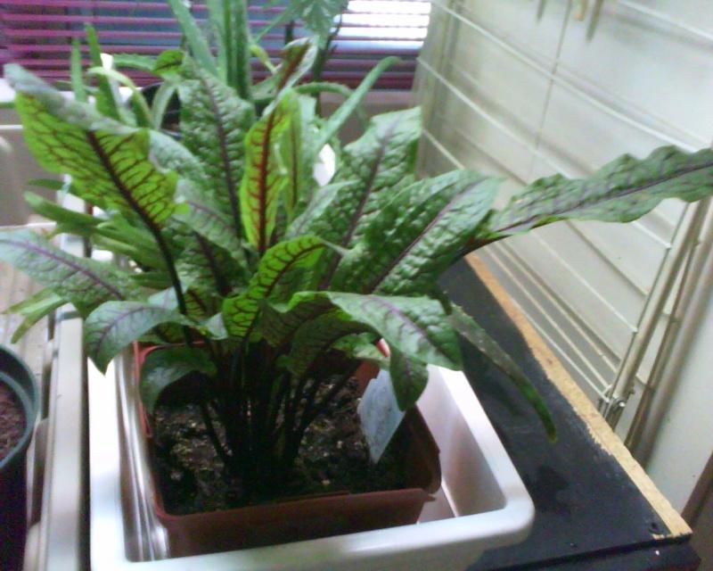 plante malade!!!!! Rumex010