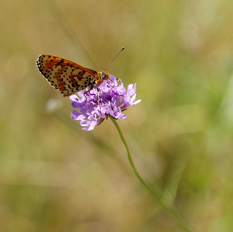 un papillon des Causses Imgp5610