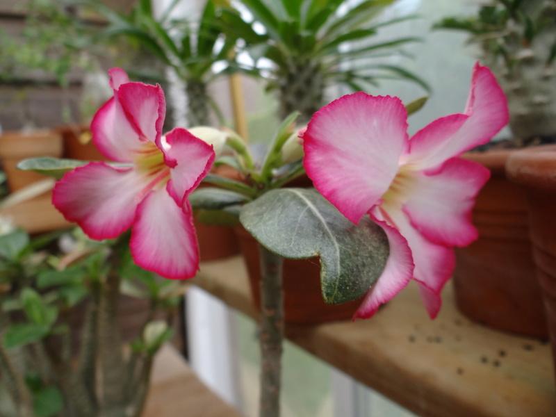 Fleurs d'Adenium Adeniu14