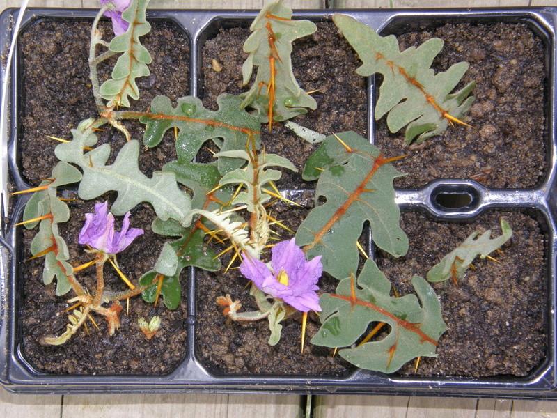 Solanum pyracanthum. Boutur10