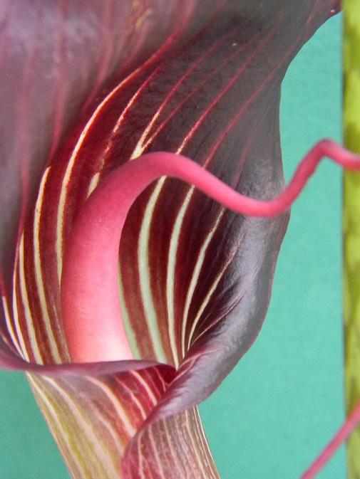 Arisaema speciosum Aris112