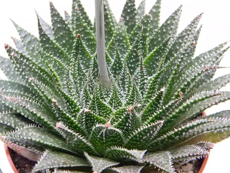 Aristaloe aristata  (= Aloe aristata) - Page 4 Aris113