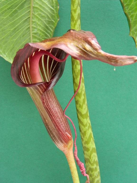 Arisaema speciosum Aris212
