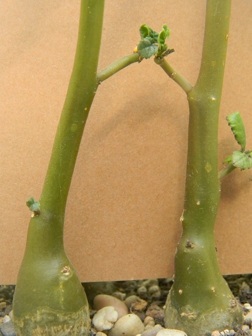 Dorstenia hildebrandtii Cop110