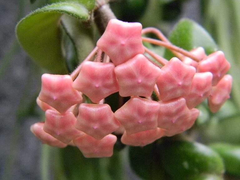 Hoya carnosa compacta Hoy11