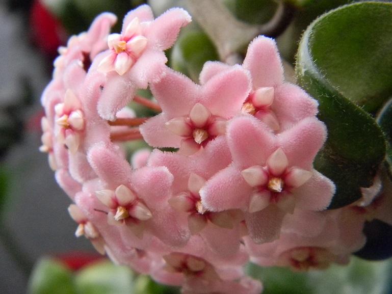 Hoya carnosa compacta Hoy111