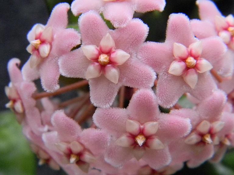 Hoya carnosa compacta Hoy211